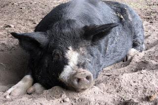 babi mabuk, babi liar, babi mengamuk, 18 tin bir