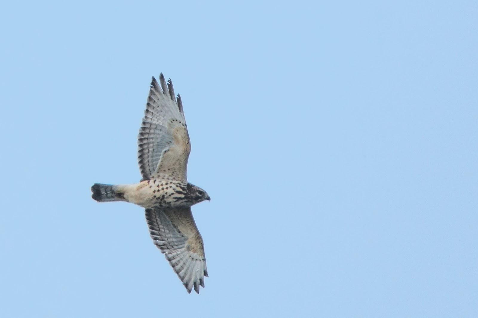 Jerry's Birding / Digiscoping Blog: HawkFest 2015 ...