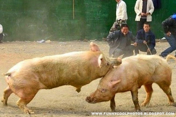 China Pigs Fight