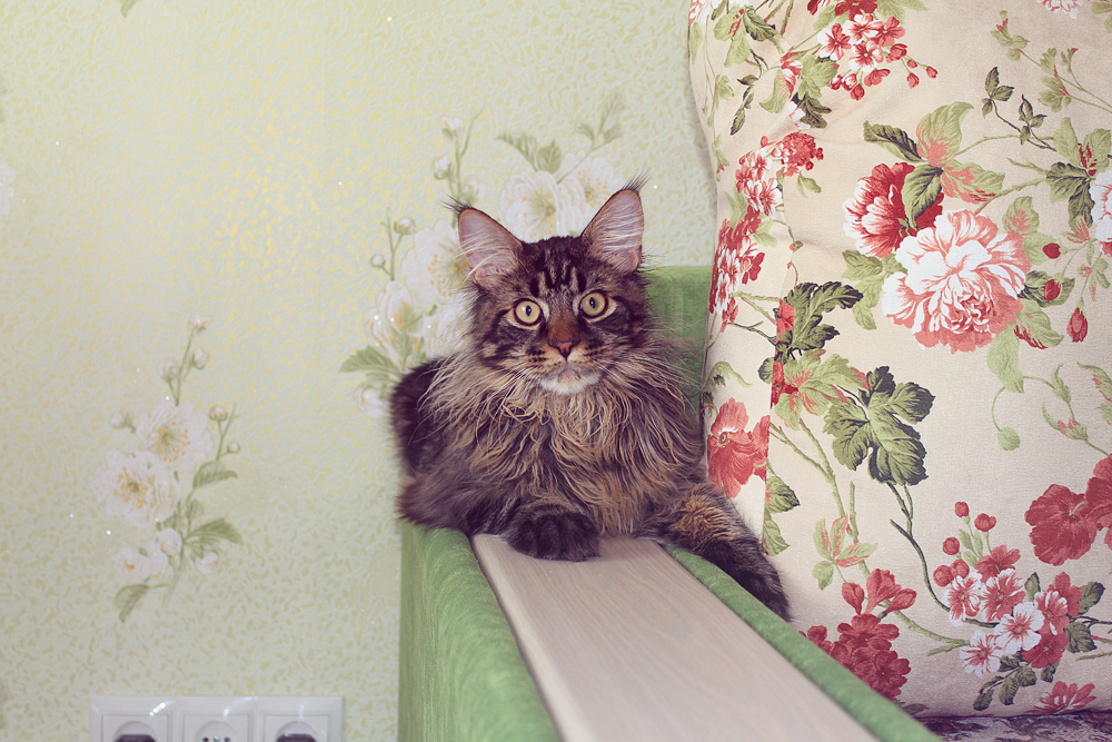 Jacob, cat, Maine Coon