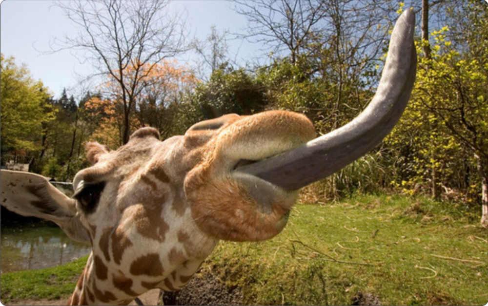 Giraffe tongue - photo#1