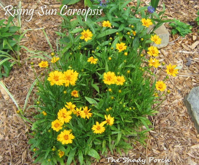 Rising Sun Coreopsis from The Shady Porch #garden #flowers #gardening
