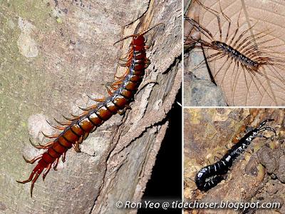 Centipedes (Class Chilopoda)