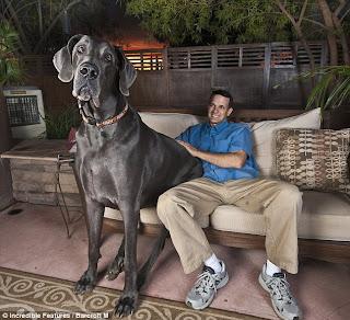 anjing terbesar, anjing raksasa, anjing paling besar