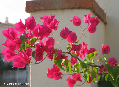 Shocking pink bouganvillea