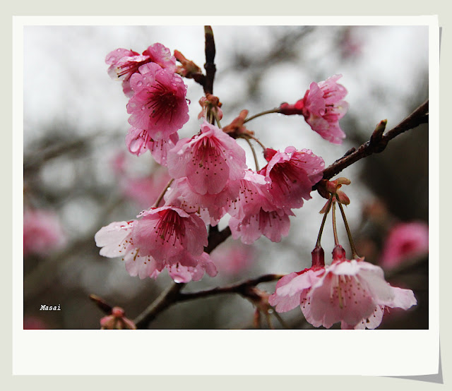 苗栗泰安溫泉 櫻花