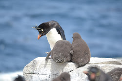 Rockhopper mother