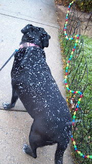 snow flakes on a black dog