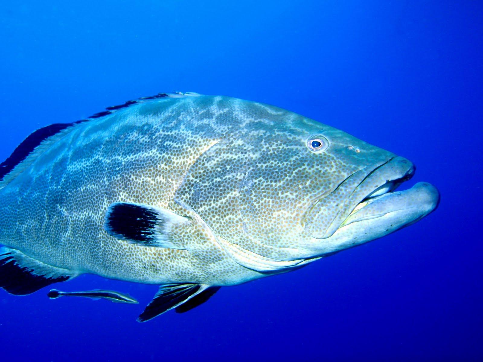 Goliath grouper snsh for Goliath grouper fish