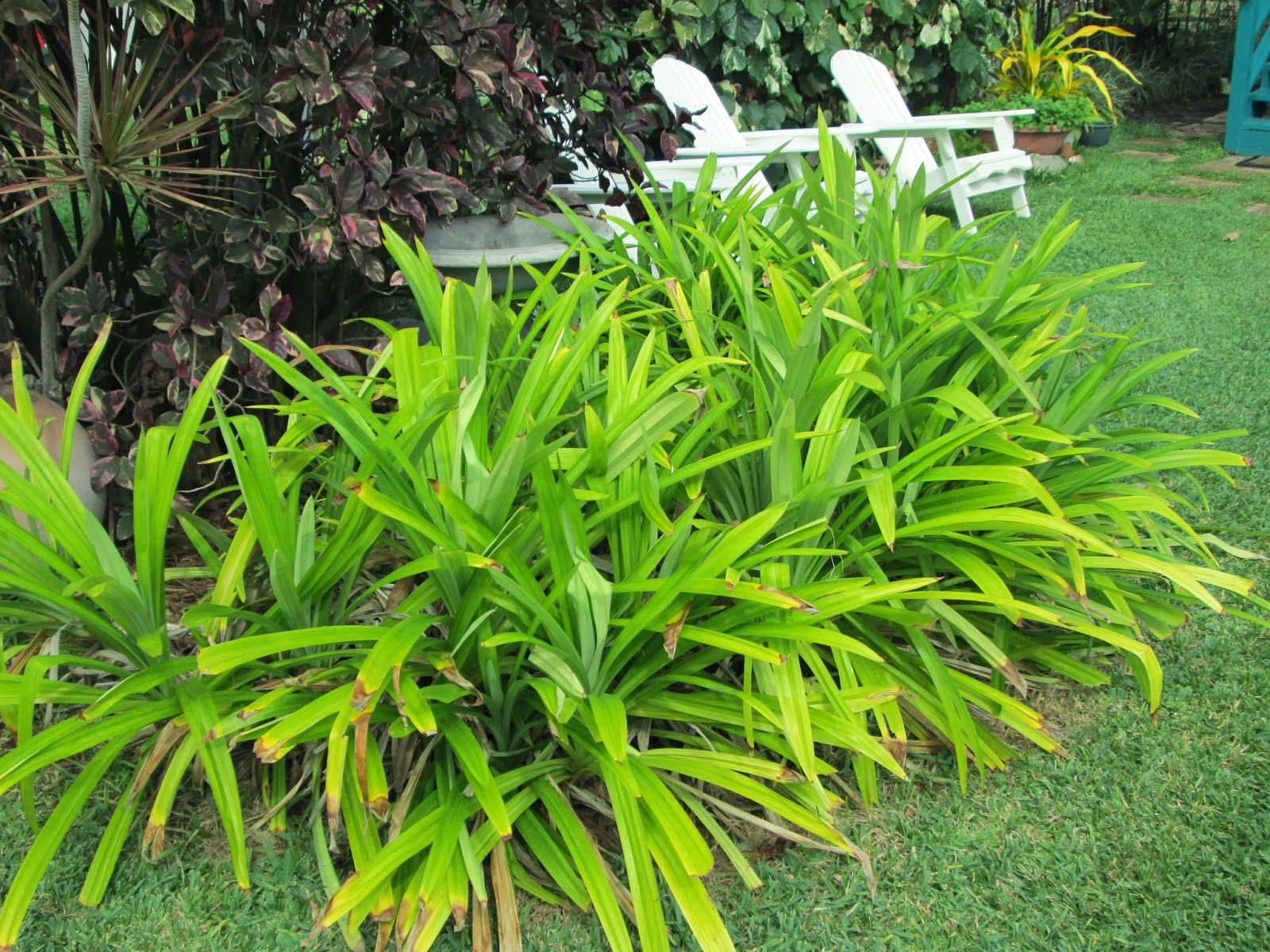 Garden notes from hawaii pandan pandanus amaryllifolius for Garden plants