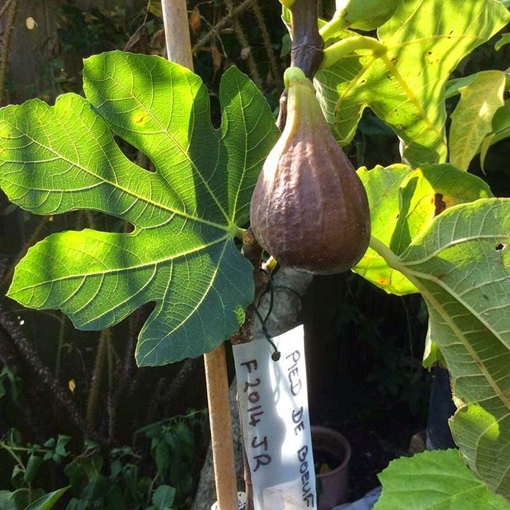 fig PIED DE BEOUF kevin figs temperature
