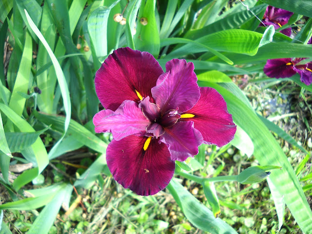 Louisiana Iris (Red Velvet Elvis) wildflower at White Rock Lake, Dallas, Texas