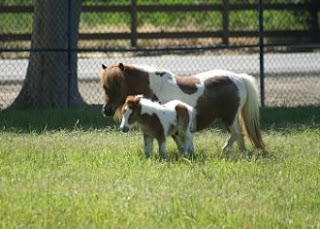 See adorable miniature horses at Quicksilver Ranch in Solvang, California
