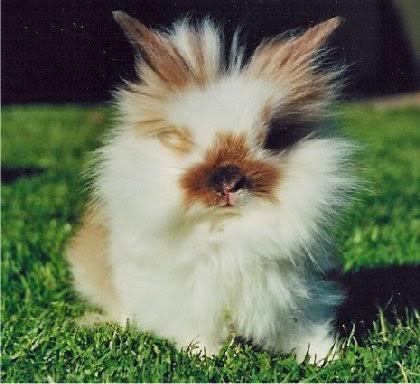 løve kanin