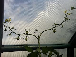 Blüte mit Fruchtansatz Kirschtomate Picolino F1