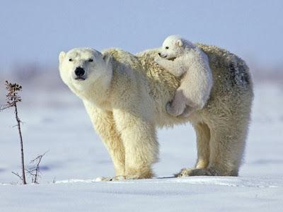Hanging Bear Cub Normal Desktop Backgrounds,Stills,Wallpapers
