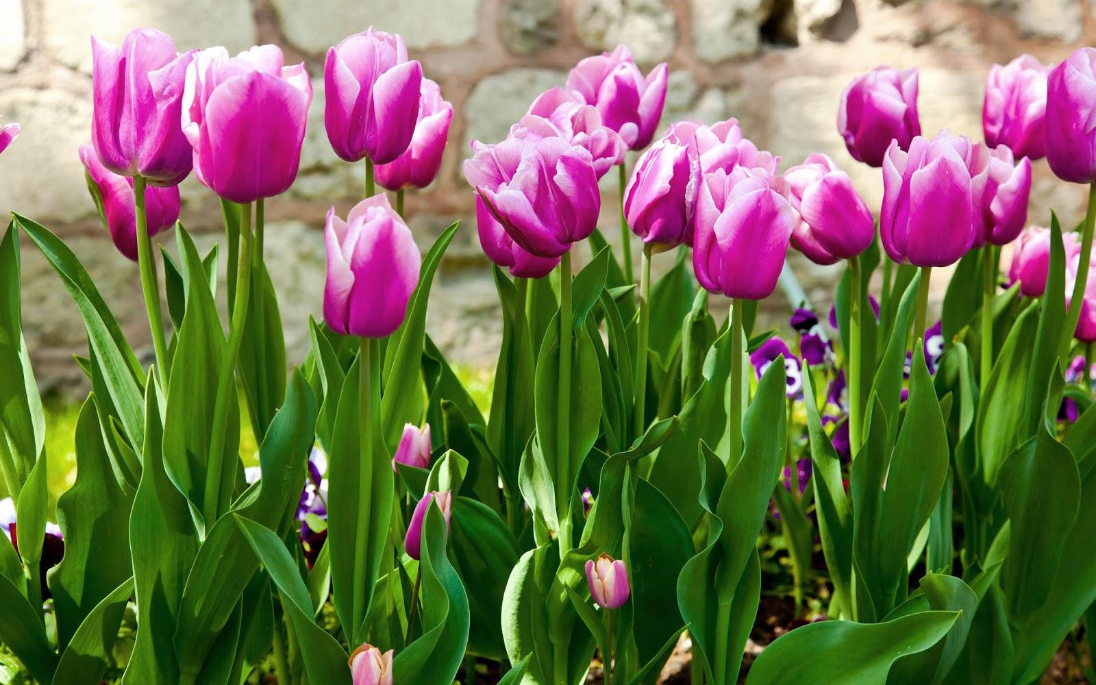 tulpen achtergrond met een - photo #17