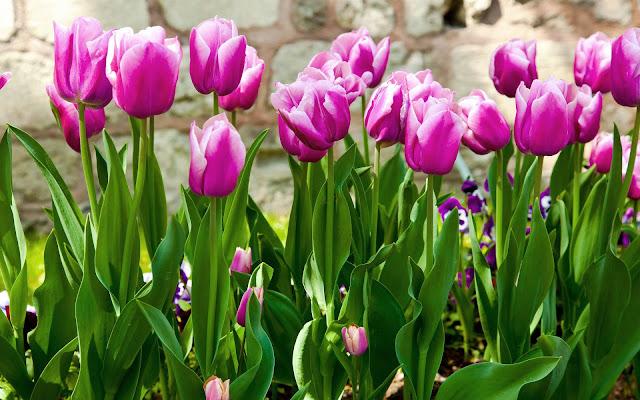 Lente bureaublad achtergrond met roze tulpen in de tuin