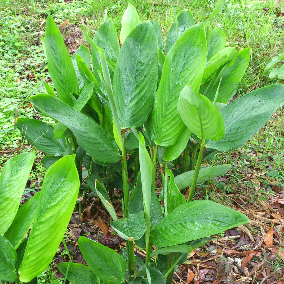 Arrowroot maranta arundinacea overview health benefits for Garden plants