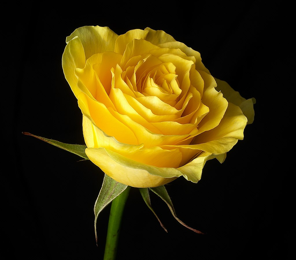 Wallpapers Yellow Rose