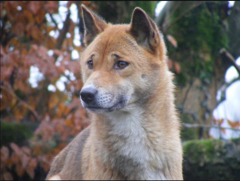 Resultado de imagen de perros cantores de Nueva Guinea