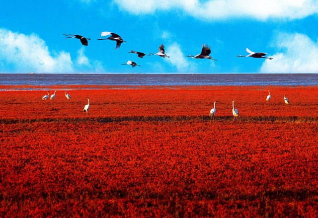 http://1.bp.blogspot.com/-D2nKsATkYGc/US-RTzra6fI/AAAAAAAAI4o/Mc3Eo_MLQVI/s1600/Red-Beach-Panjin-China-Birds.jpg