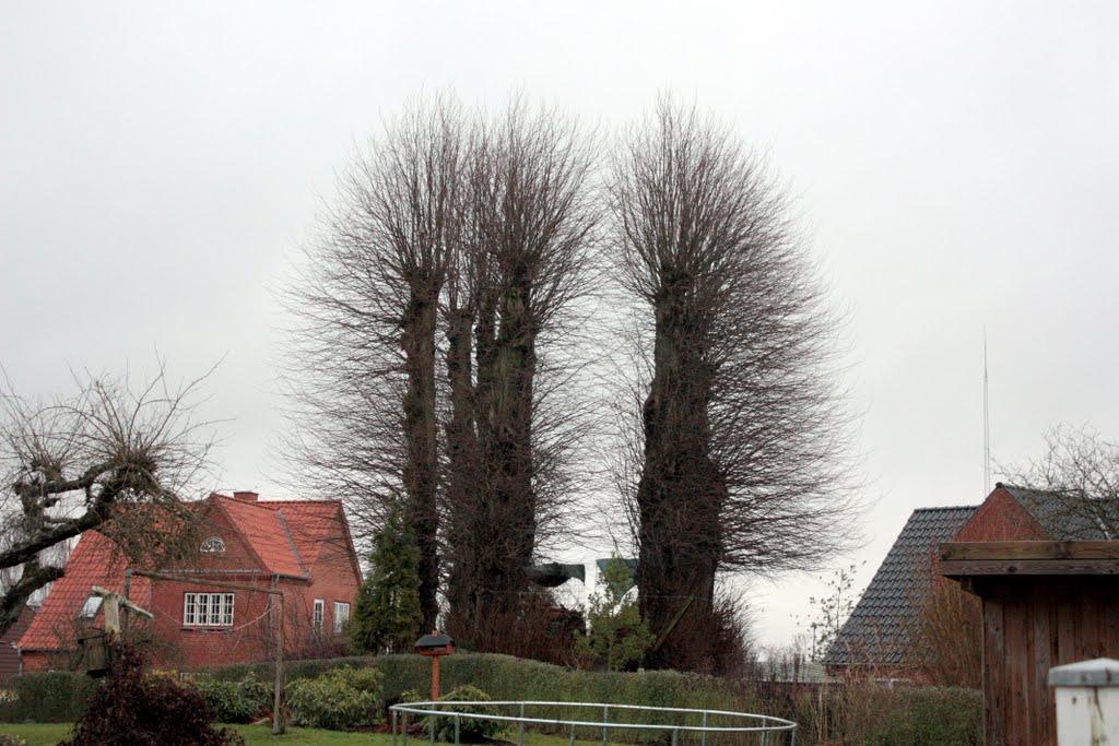 beskæring af lindetræer