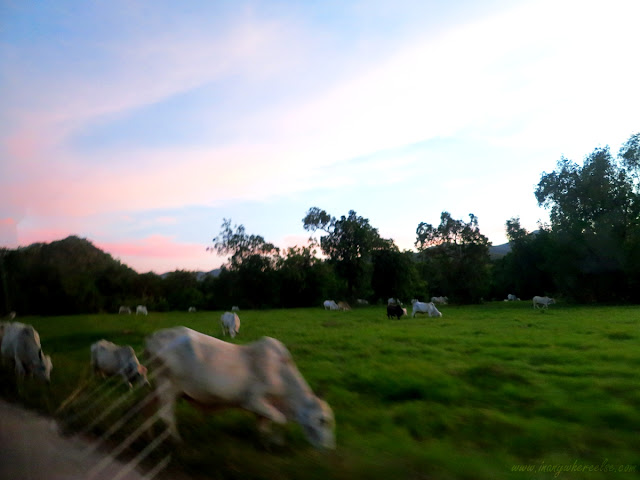 Cattle grazing in Busuanga, Palawan