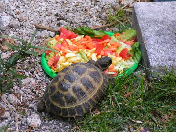 Кормление сухопутными черепахами в домашних условиях 180