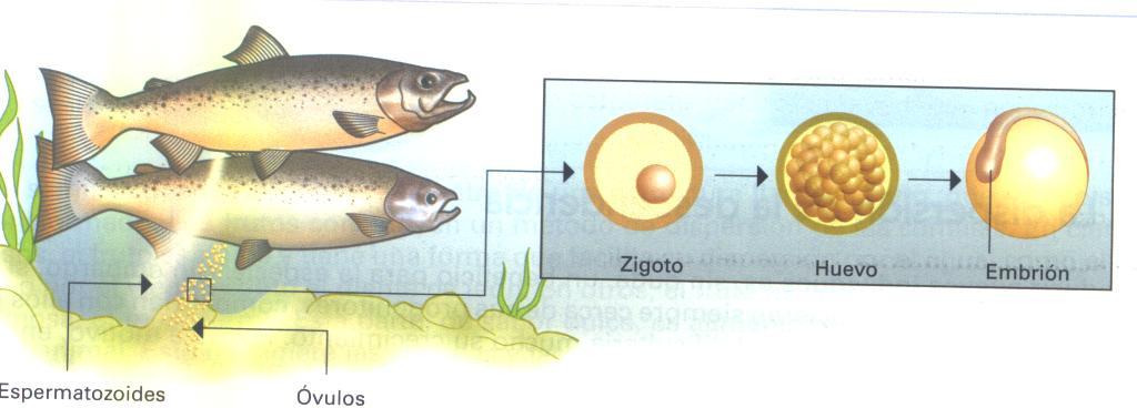 Aprendiendo biologia con cabra reproducci n en vertebrados for Reproduccion en peces