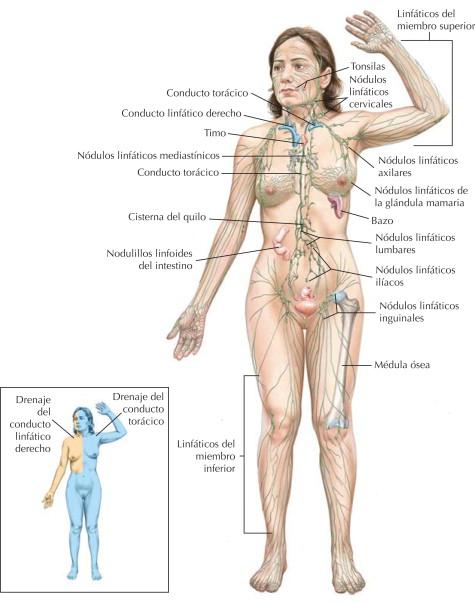 Sistema linfático: organización   Netter Blog