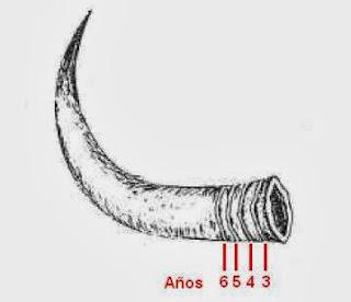 Edad de un bóvido por los anillos del cuerno