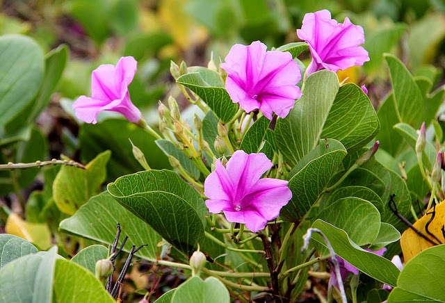 Hoa muong bien Photo