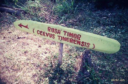 Menuju ke lokasi Rusa Timor
