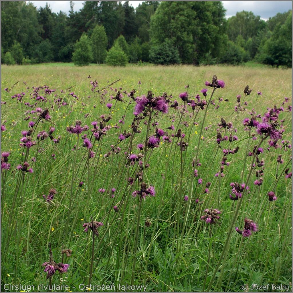 Cirsium rivulare Growth Habit of flowering plant  - Ostrożeń łąkowy  pokrój kwitnącej rośliny