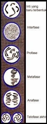 Pengertian Pembelahan Mitosis dan Tahap-tahapnya