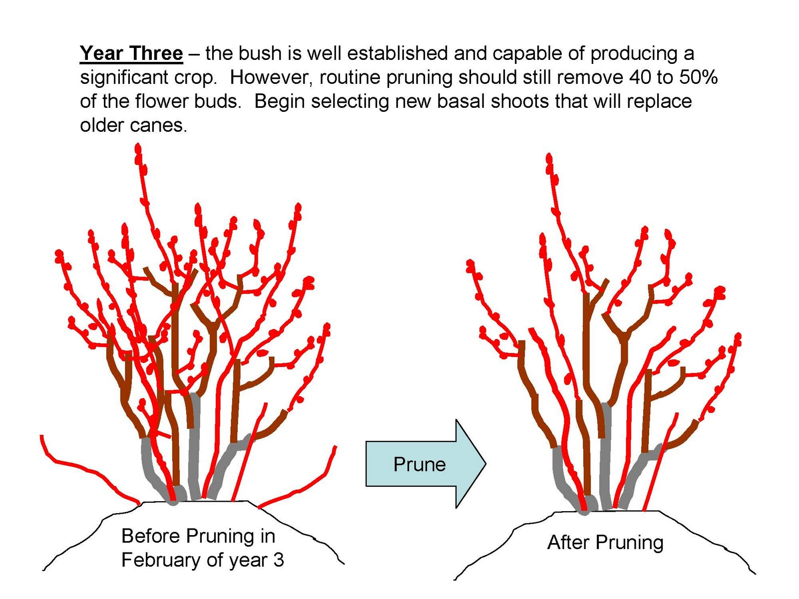 The nc blueberry journal pruning young blueberry plants the color red is used to represent one year old growth and dormant flower buds click on each image to enlarge ccuart Image collections