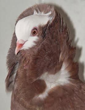Old Dutch Capuchine Pigeon