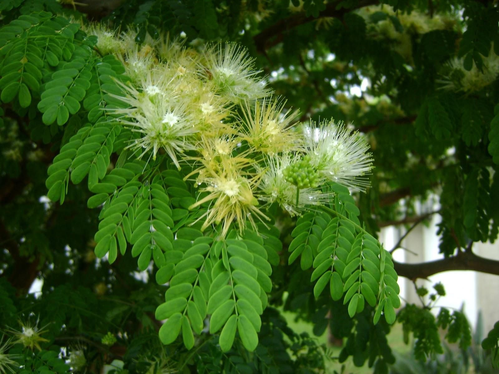 The Flowering plants  Leguminosae  Fabaceae Fabaceae  Chloroleucon