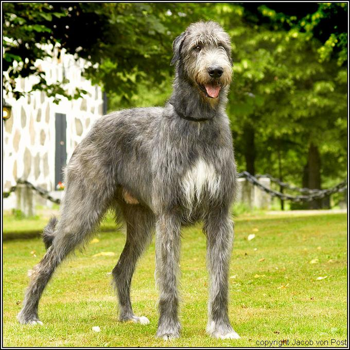 Glamourwoofs: Breed Profile - The Irish Wolfhound