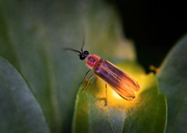 firefly lightning bug