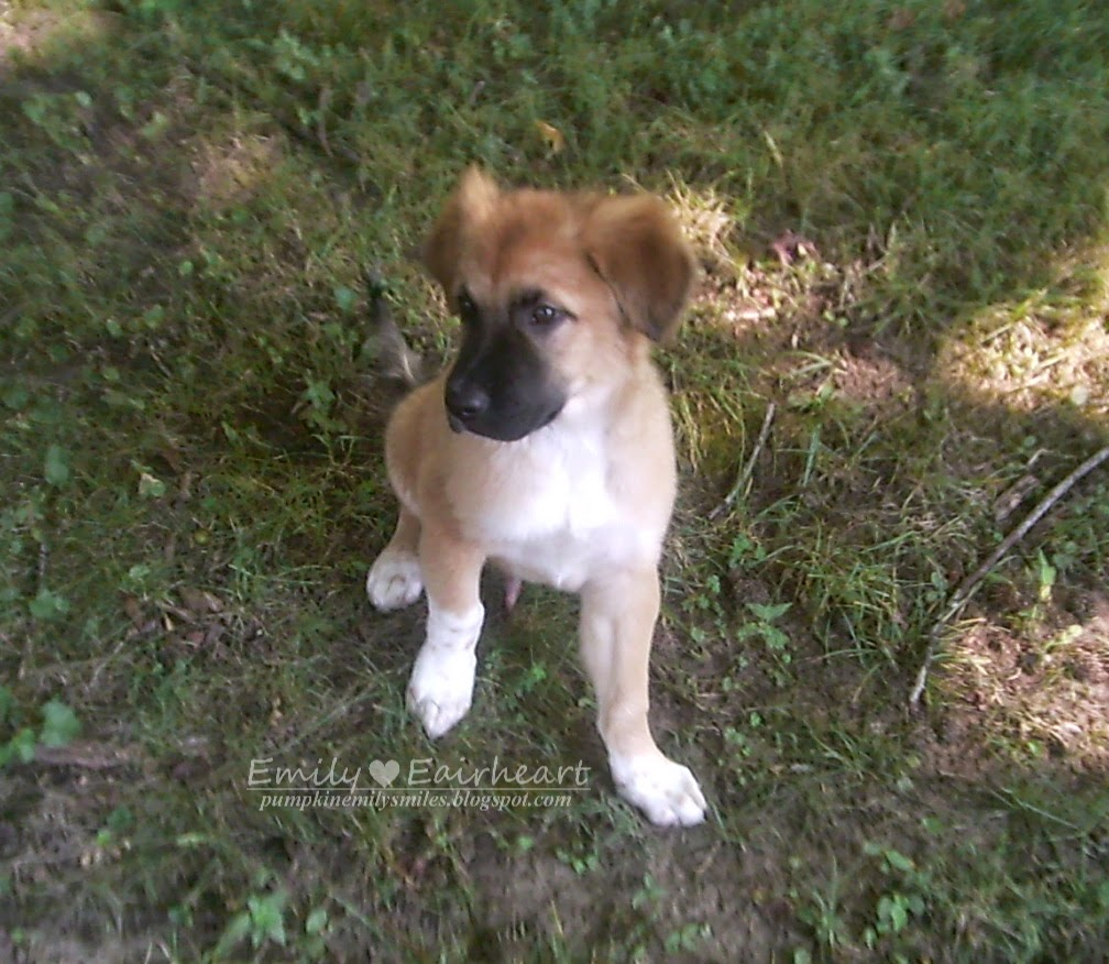 Rocky as a puppy German Shepherd and Golden Retriever Mix