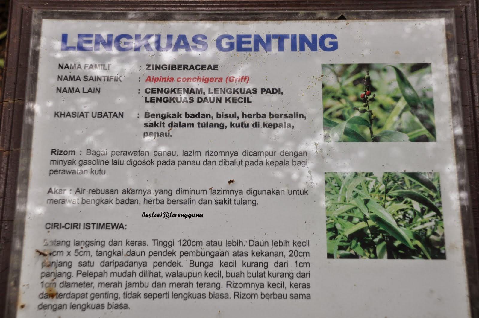 herba lengkuas genting