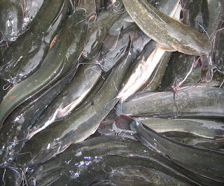 ikan lele sangkuriang