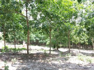 สวนยางพารา ราคาไม่ถึงแสน ไม่เกินแสน