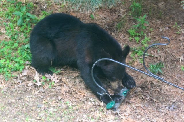 Black bear eats sunflower seeds from bird feeder