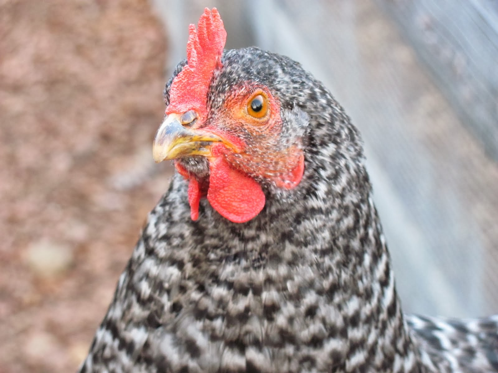 Luna the Barred Rock