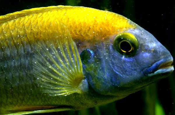 Tropical fish diseases ornamental aquarium fish for Ick in fish tank