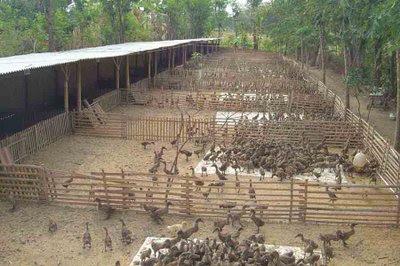 Beternak Itik