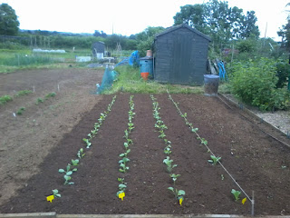 a cabbages, ormskirk cabbage, brussles and purple sprouting broccoli
